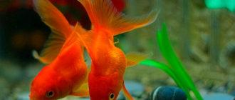 как перевезти и запустить купленную рыбку в аквариум